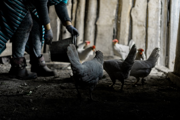 Мужчина насыпает корм в кормушку для белых цыплят