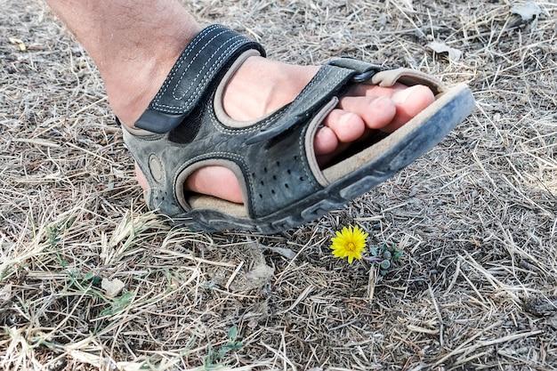 Нога человека в сандалиях ступает на отдельно стоящий желтый одуванчик, растущий среди засохшей травы. цветок раздавлен человеком, наступившим на него