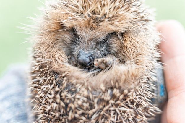 В руке мужчины в перчатке лежит милый маленький дикий колючий ёжик, свернувшийся клубочком. спасение и уход за животными, охрана окружающей среды. деревенский стиль и концепция природы