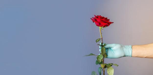 Рука мужчины в синей защитной перчатке держит и дарит красную розу