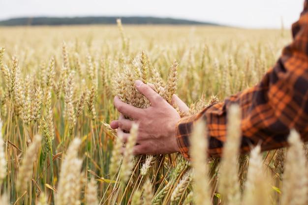 Мужчина трогает колосья пшеницы на поле