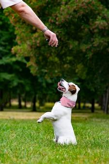男は公園であなたのペットに餌をやる屋外で彼の犬のジャックラッセルテリアを訓練しますハンドトレーニングプレイ...