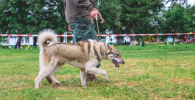 Мужчина с собакой породы западно-сибирская лайка во время демонстрации на выставке собак