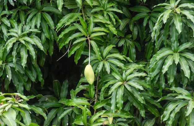 녹색 잎과 과일이 있는 망고 나무(mangifera indica)