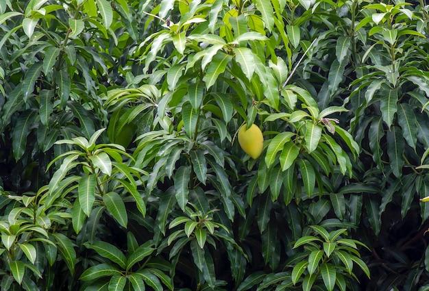녹색 잎과 익은 과일이 있는 망고 나무(mangifera indica)