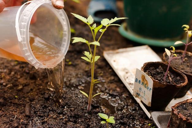 Рука человека удобряет кусты помидоров в теплице