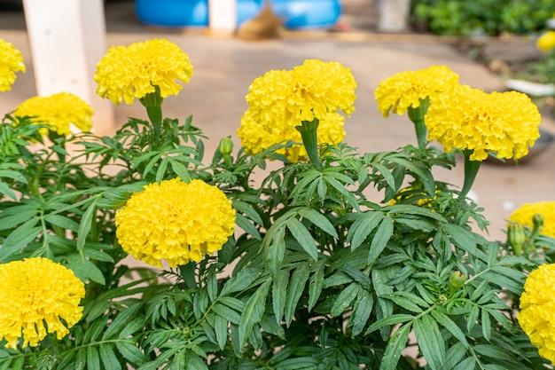 Сад календулы, где светит солнце. цветки календулы - желтый кустарник, по верованиям используются в гирляндах разных видов для поклонения монахам и священным вещам.