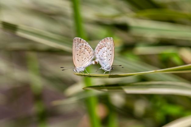 緑の植物の先端にとまる小さな蝶の交尾ペア