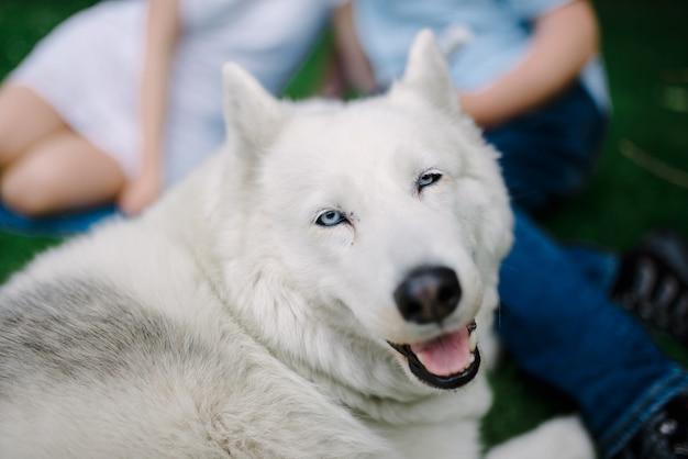 成熟したシベリアンハスキー雌犬が黄色い花の近くの芝生に横になっています。雌犬は灰色と白い毛皮と青い目をしています。彼女の周りにいくつかのタンポポがあります。