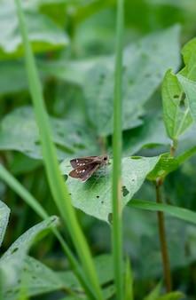 정글에서 녹색 콩 잎에 쉬고 초원 갈색 나비