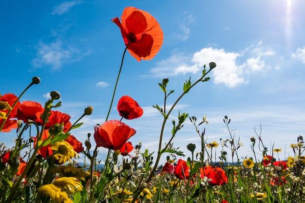 春の間にかわいい赤いポピーと素敵な黄色のヒナギクでいっぱいの牧草地