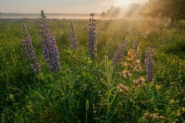 野生の紫色の花の背景の牧草地