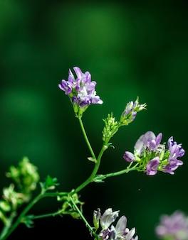 Medicago sativa는 fabaceae (또는 leguminosae)과에 속하는 초본 식물입니다.