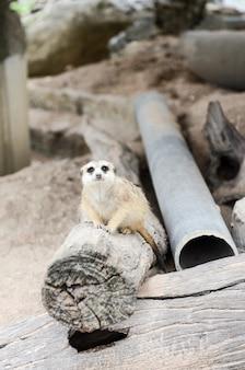 Мееркат жив в зоопарке