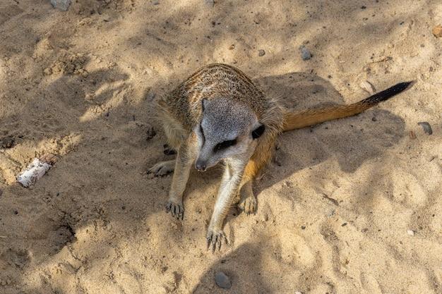 晴れた日には、ミーアキャットがカザン動物園の砂の上に座っています。