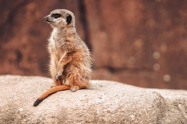 주위를 둘러 보면서 바위에 미어캣 (suricata suricatta)