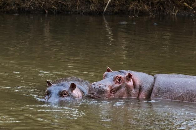 Встреча толстокожих в воде меру кения