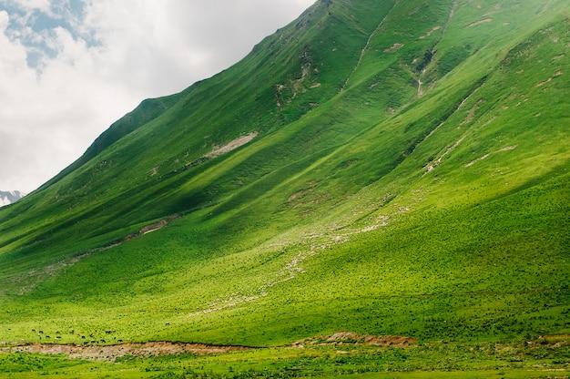 100万匹の羊がジョージア州コーカサスの緑の山を歩きます。野生の自然の中で素晴らしい景色。