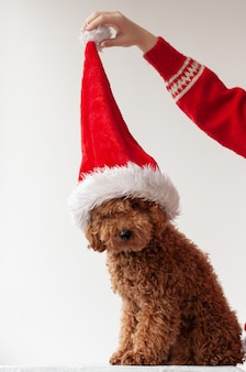 赤茶色のミニチュアプードルはサンタクロースの帽子の白い背景の上に座って、手はポンポン、クリスマスと新年の概念で帽子を保持します