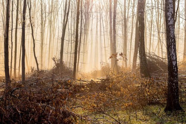 秋の森の霧のかかった朝、霧の中を光が通り抜ける_