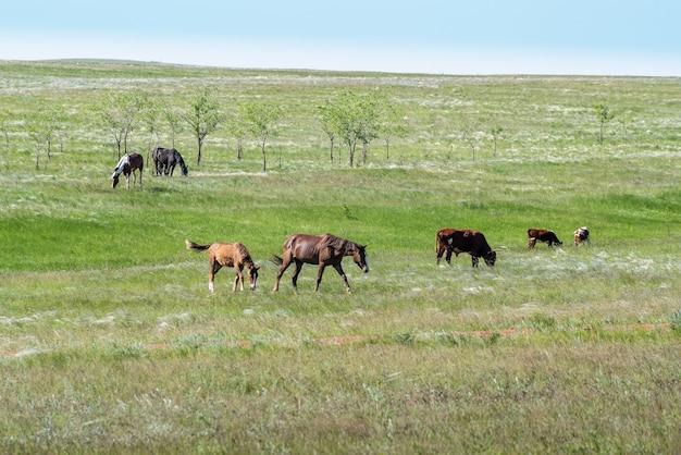羽毛草原の馬と牛の混合群れロシアの晴れた夏の日に撮影された写真
