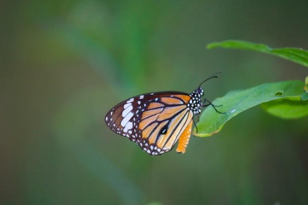 春の夏の庭で花を食べるモナーク蝶