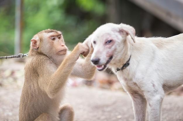 Обезьяна, проверяющая блох и клещей у собаки