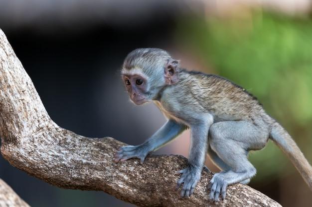 猿が枝を登る