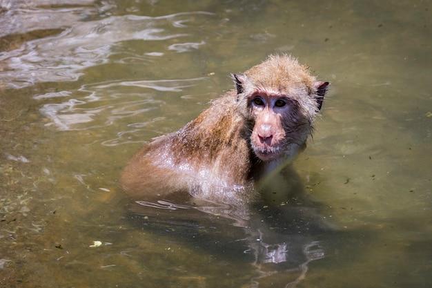 Обезьяна в воде. дикие животные.