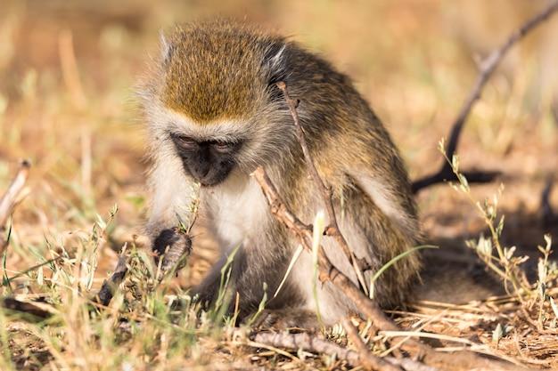 猿が芝生で何かを探しています