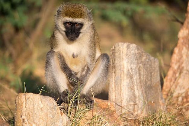 サルが座って周りを見回す