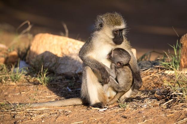 赤ちゃん猿を腕に抱えた猿