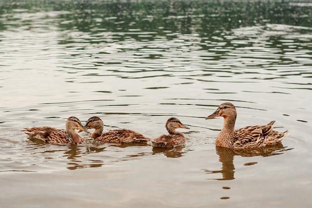 Утка-мать и трое ее утят плавают в пруду. фото высокого качества