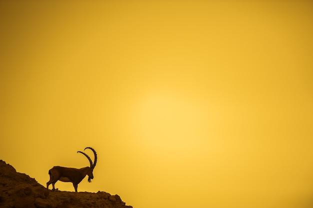 이스라엘 사막에 있는 산의 경사면에 있는 산 염소.