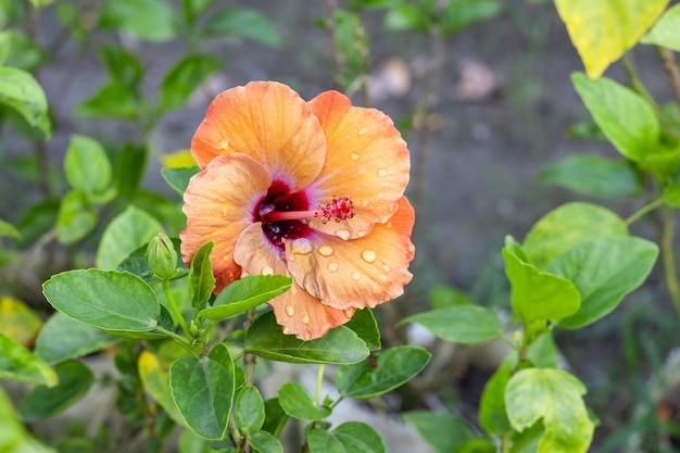 여러 가지 빛깔의 히비스커스 로사 시넨시스 또는 중국 장미 꽃이 정원의 나뭇가지에 피었습니다