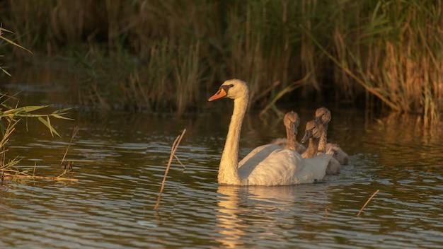 A mute swan cygnus olor, 병아리들,