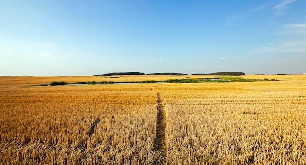 先細りの小麦である農地の狭い道。