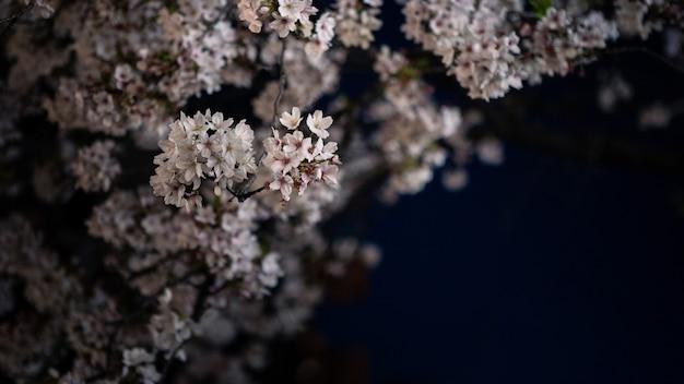 夜の街並みに咲く美しい桜の自然シーン。京都の素晴らしい日本の桜の春の風景。