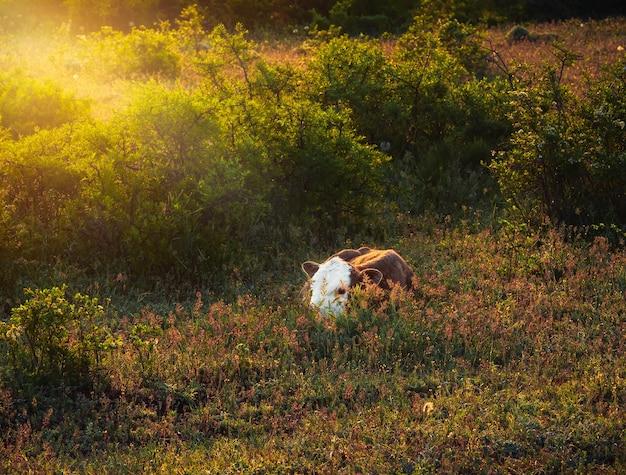 Новорожденный теленок на утреннем солнце на лугу.