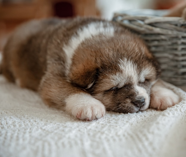 生まれたばかりの小さなふわふわの子犬は、バスケットの近くで眠ります