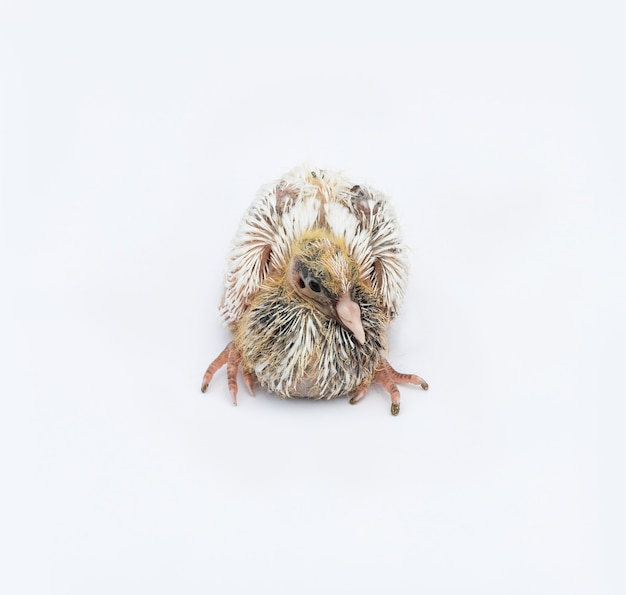신생아 비둘기 아기 격리 된 흰색 배경에 보기를 닫습니다
