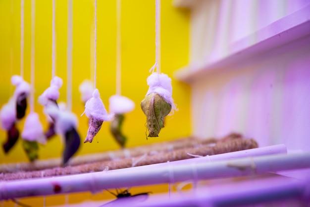 Новорожденная тропическая бабочка рождается из кокона в теплице