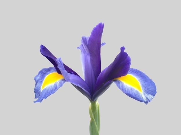 素敵な背景を持つ素敵な青い色の花それは黄色と青の色の組み合わせの花びらを持っています
