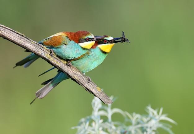 의식에 먹이를 주고 교미하는 동안 한 쌍의 성인 꿀벌 먹는 사람(merops apiaster).