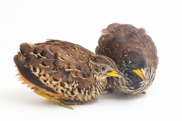 한 쌍의 금지 buttonquail 또는 일반적인 bustard-quail (turnix suscitator) 흰색