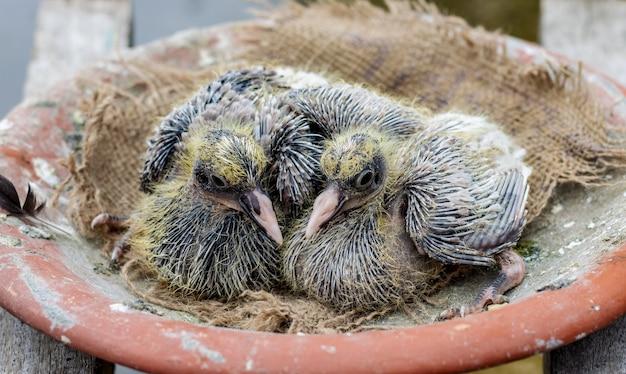 둥지에 있는 귀여운 아기 비둘기 한 쌍이 닫혀 있습니다.