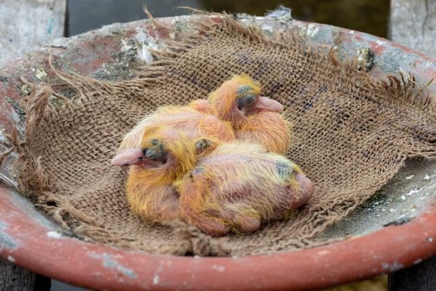 둥지에서 갓 태어난 아기 비둘기 한 쌍을 닫습니다.