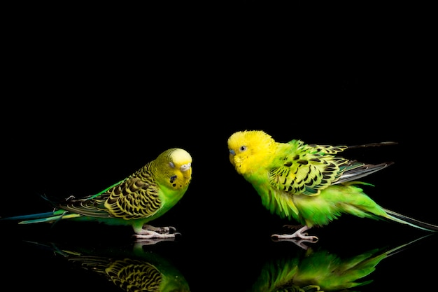 Пара попугаев волнистый попугайчик, изолированные на черном