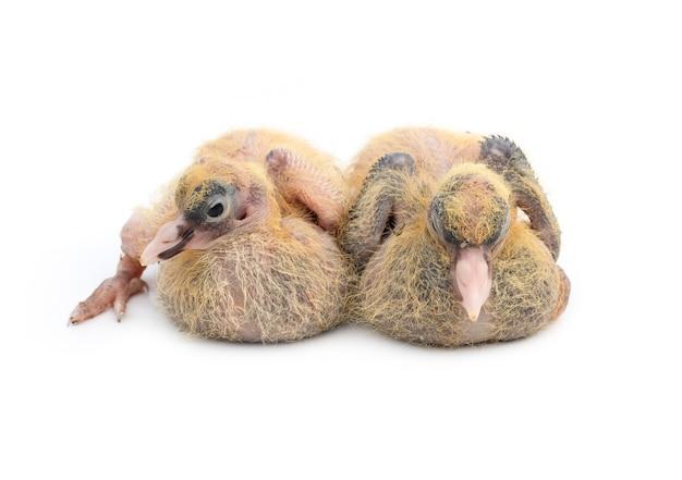 한 쌍의 비둘기 병아리는 격리된 흰색 배경에 선택적으로 초점을 맞춘 모습을 가까이서 봅니다.