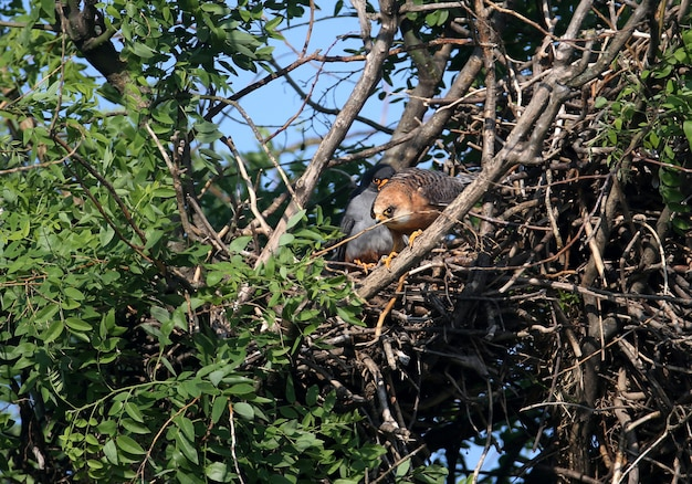 Пара красноногих соколов (falco vespertinus) спаривается в гнезде.
